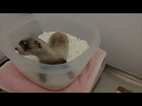 Cloning expands black-footed ferret numbers by one
